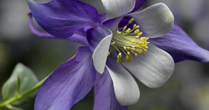 350e anniversaire de Repentigny : la Ville invite les citoyens à se procurer la fleur choisie pour souligner cette année de commémoration